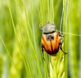 Scarab beetle Anisoplia austriaca on the wheat spike. Pests macro photography royalty free stock photos