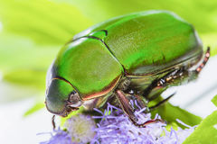 Scarab beetle or Anomala grandis green little bug insect Stock Images