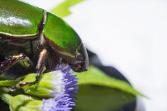 Scarab beetle or Anomala grandis green Stock Photo