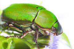 Scarab beetle or Anomala grandis green little bug Stock Photo