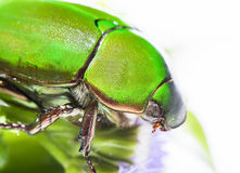 Scarab beetle or Anomala grandis green little bug insect Stock Photo