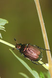 Scarab beetle Stock Photos