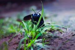 Scarab beetle Royalty Free Stock Photos