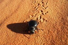 Black scarab beetle in sand desert. Scarab beetle running on sand in sand dunes of Sahara, Morocco, leaving tracks or footprints behind. The beetle has shiny royalty free stock photo
