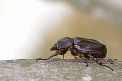 Scarab beetle Stock Photo