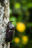 Scarab beetle Stock Photography