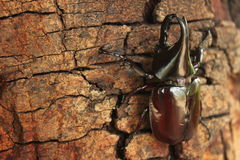 Scarab beetle Royalty Free Stock Photography