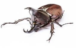 Scarab beetle royalty free stock image