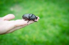 Scarab beetle on woman hand Stock Photos