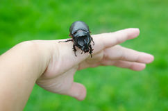 Scarab beetle on woman hand Stock Images