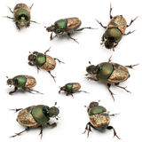 Scarab beetles - Onthophagus Sp Stock Photo