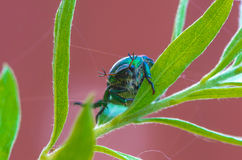 Scarab beetles on a plant Stock Photo