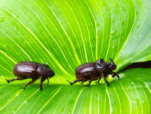 Scarab couple Stock Photos