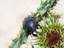 scarab?e images libres de droits