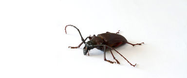 Scarab Stock Photography