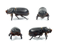 Scarab isolated Royalty Free Stock Photos