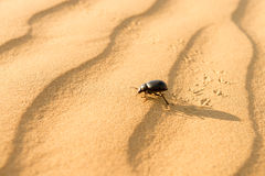 Scarab on sand dune in desert Stock Photos