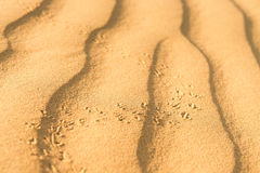 Scarab on sand dune in desert Stock Photography