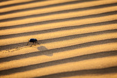 Scarab (Scarabaeus) beetle on desert sand Stock Image