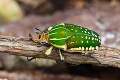 Scarabaeid Beetles Chelorrhina polyphemus