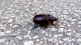 Scarabaeidae Fotografia Stock Libera da Diritti
