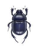 Scarabaeus sacer beetle Stock Image