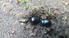 scarabei immagini stock