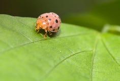 scarabei di coccinella Gran-macchiati Fotografie Stock Libere da Diritti
