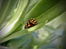 Scarabei di Ladybird accoppiamento Immagini Stock