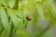 Scarabei di Ladybird che si accoppiano sulla foglia verde Fotografie Stock