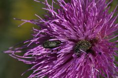 2 scarabei sono in un fiore del cardo selvatico fotografia stock