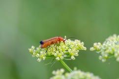 scarabeo Fotografia Stock Libera da Diritti