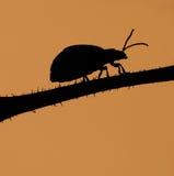 scarabeo Immagine Stock Libera da Diritti