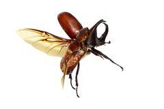 scarabeo Immagini Stock Libere da Diritti