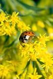 Scarabeo asiatico del Ladybug (axyridis di Harmonia) Fotografia Stock