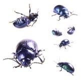 Scarabeo blu metallico Immagine Stock