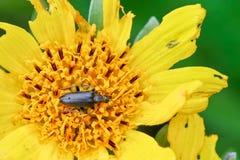 Scarabeo che raccoglie polline immagine stock