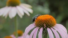 Scarabeo che raccoglie polline su un fiore video d archivio