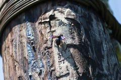 Scarabeo dell'insetto di maggio Immagine Stock