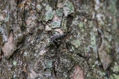 scarabeo dell'Legname-uomo Immagine Stock Libera da Diritti