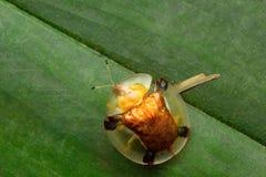 Scarabeo della carapace, colonia del latte di Aarey, INDIA Immagini Stock Libere da Diritti