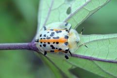 Scarabeo della carapace o miliaris F di Aspidomorpha immagini stock