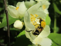 Scarabeo della natura in polline sul fiore del gelsomino Fotografia Stock