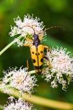 Scarabeo della vespa Immagine Stock Libera da Diritti