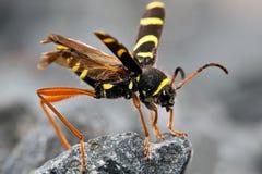 Scarabeo della vespa che si siede sulla roccia Fotografia Stock