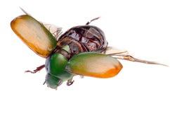Scarabeo dello scarab dell'insetto di volo fotografia stock