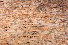 Scarabeo di corteccia dell'albero di struttura Fotografia Stock Libera da Diritti