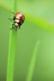 Scarabeo di giugno verde Fotografia Stock