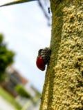 Scarabeo di Ladybird rosso di muta Immagini Stock