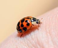 Scarabeo di Ladybird sui precedenti della mano umana Alto vicino della coccinella Fotografie Stock Libere da Diritti